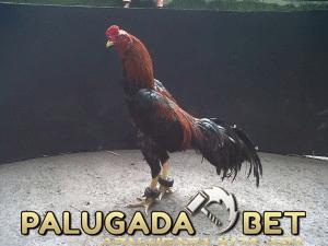 Perawatan Dan Pelatihan Terlengkap Untuk Ayam Bangkok