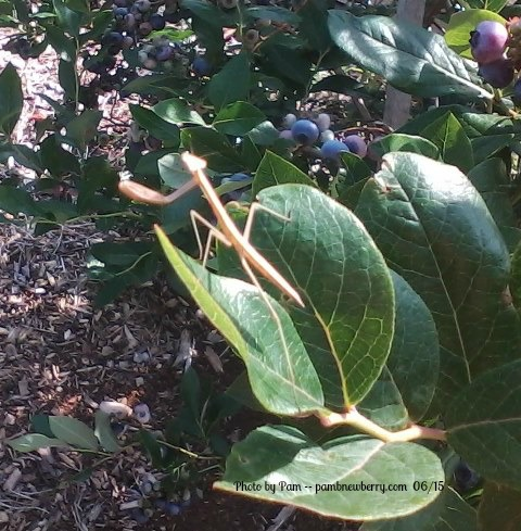Baby Praying mantis sunning on a Blueberry bush leaf featured in About Pam as an author.