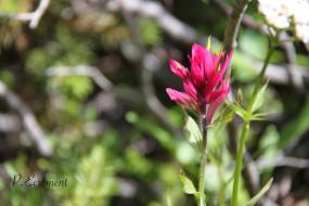 Indian Paintbrush Wildflower