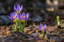 bloom-blossom-crocus-156203