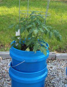 garden0429-tomato1