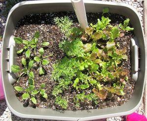 garden0527-salad