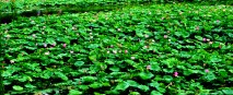 a water field of lotuses
