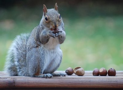 squirrel with acorn