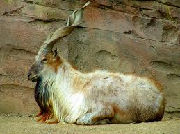 Injured Markhor dies in custody of Chitral Wildlife Department