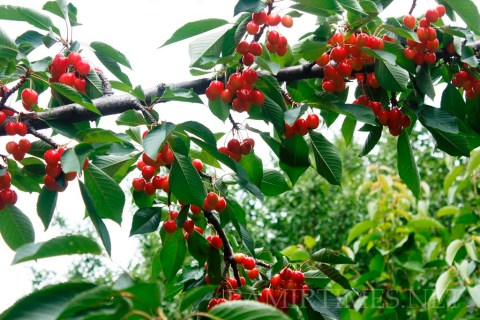 A large variety of fruits are present in Gilgit-Baltistan