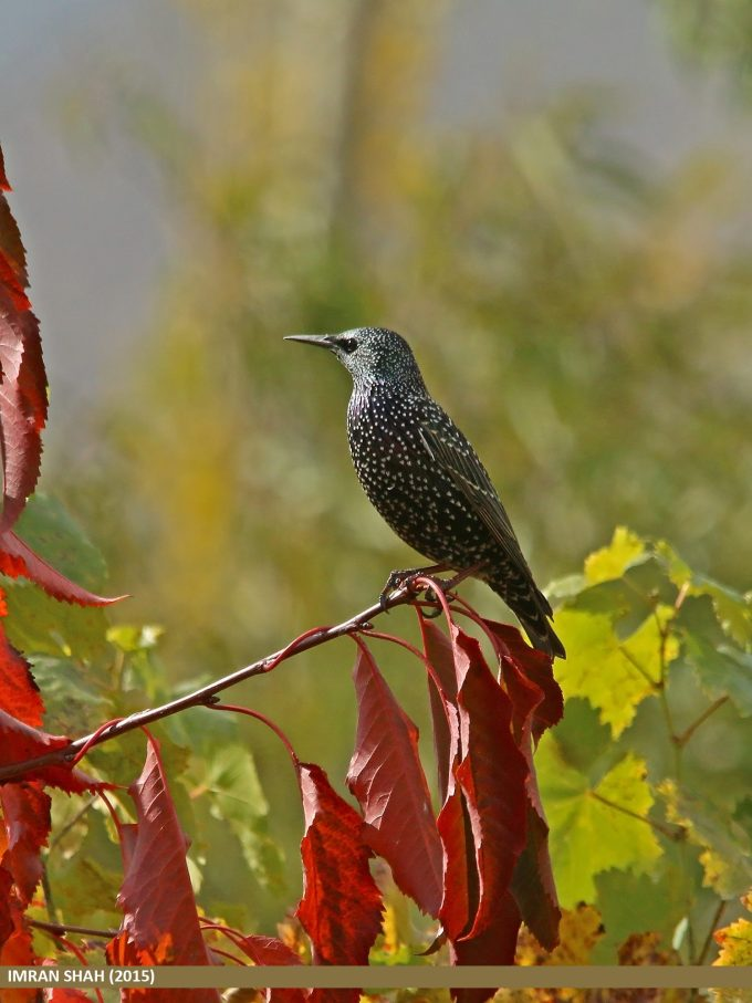 Common Starling (Sturnus vulgaris) captured at Aliabad, Hunza, Gilgit-Baltistan, Pakistan