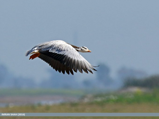 Bar-headed Goose (Anser indicus) captured at Head Marala, Punjab, Pakistan