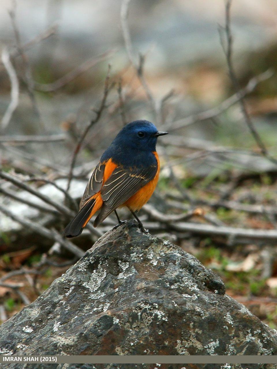 Blue-fronted Redstart (Phoenicurus frontalis) captured at Naltar, Gilgit, Gilgit-Baltistan, Pakistan