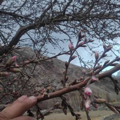 Almond blossom in December baffles farmers of Hunza