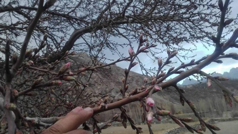 Almond blossom in December baffles farmers of Hunza