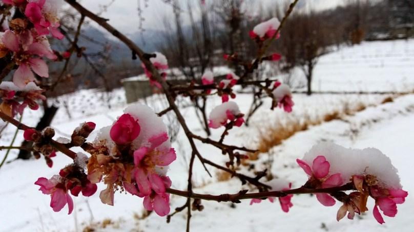 Snow-Blossom in Hunza Valley Asghar Khan