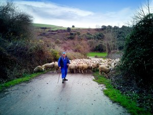 Pastor leading sheep
