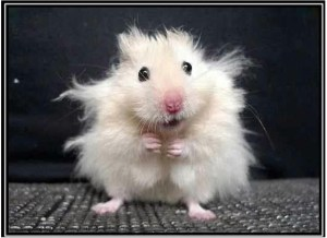 Stressed mouse with hair sticking out