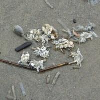 Pacific Mole Crab Season