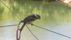 Female Blackheaded Grosebeak