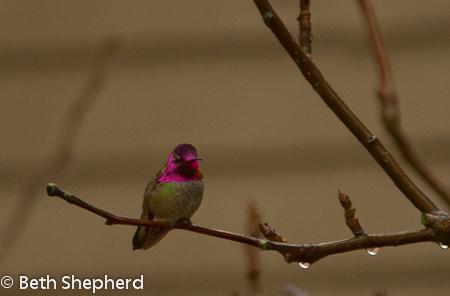 hummingbird in a plum tree