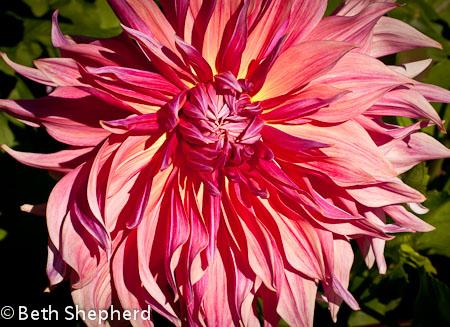 Pink dahlia, Volunteer Park Dahlia Garden