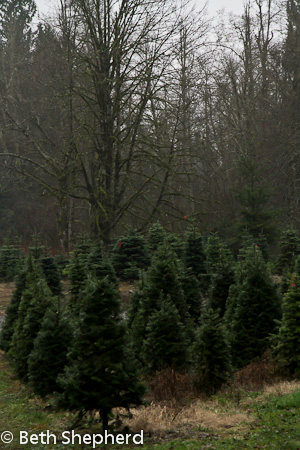 Christmas trees Enchanted Wind, Issaquah WA