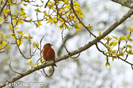 Crossbill and budding leaves