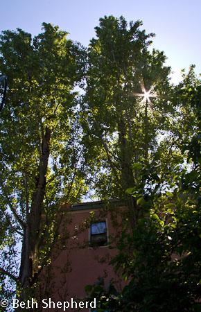 Poplars and the sun