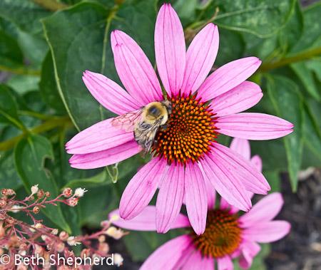 Bumblee on Echinacea