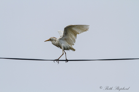 Dance of the white crane