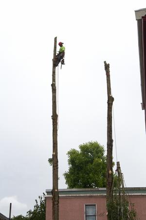 Bye bye poplars
