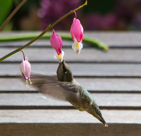 Hummingbird in bleeding hearts