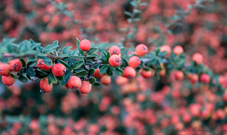 Cotoneaster berries at the Washington Park Arboretum