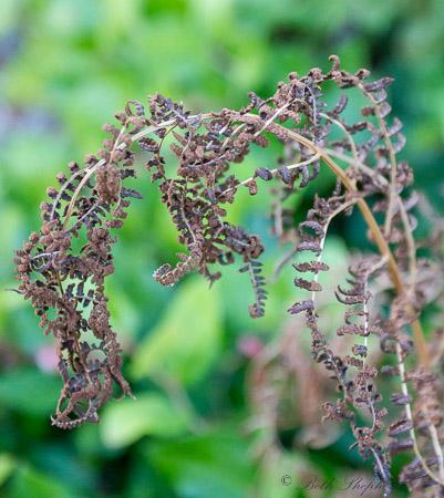 Dying fern