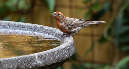 Finch at the birdbath