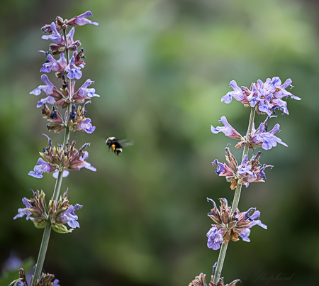 Bee and sage flowers