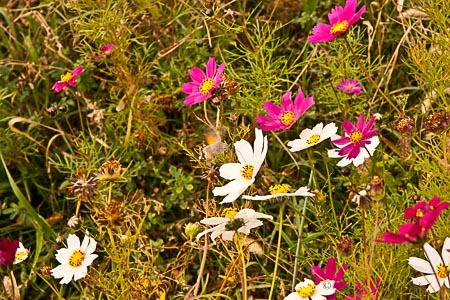 Wild Cosmos flowers Armenia
