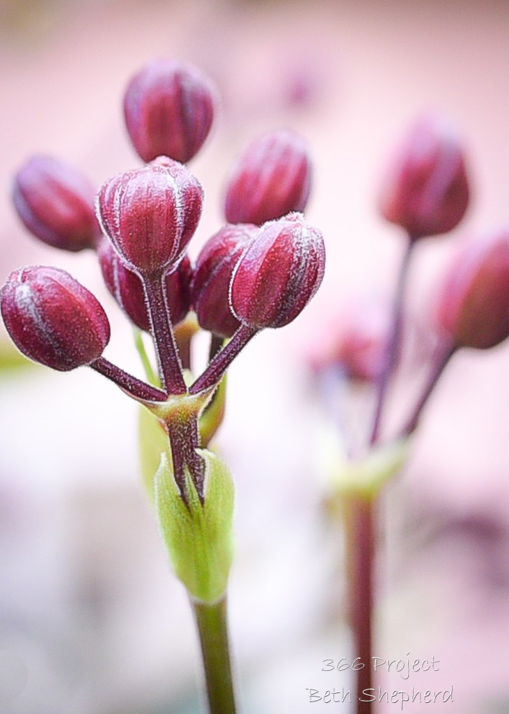 Spring blooms of Clematis buds