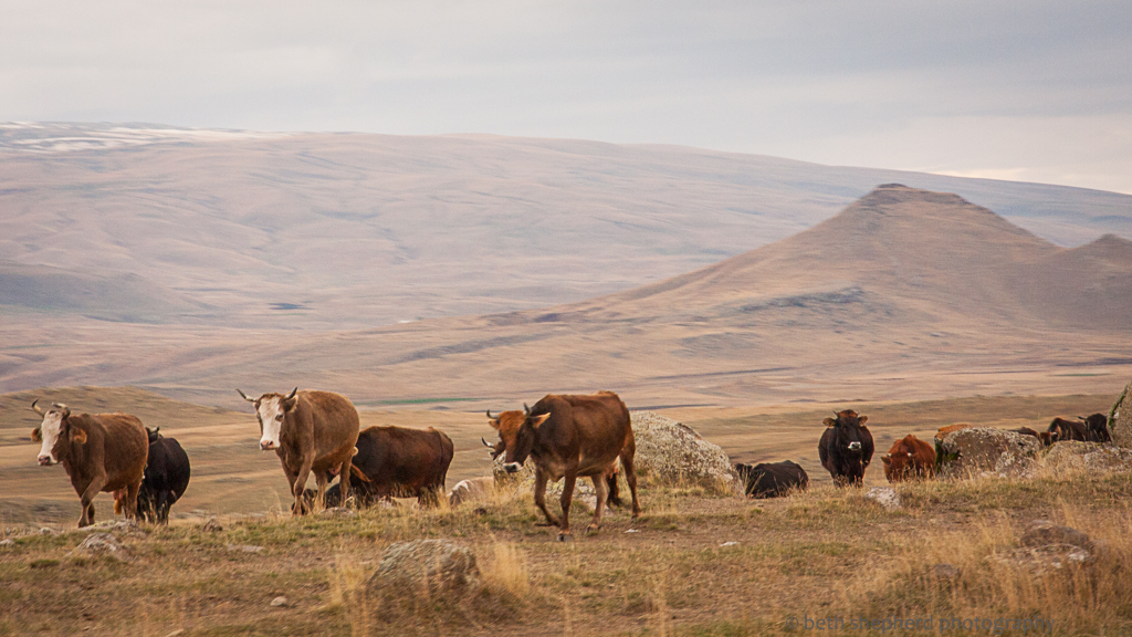 Cows on road to Gyumri