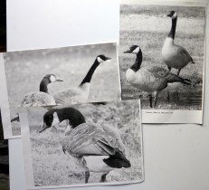photos of geese