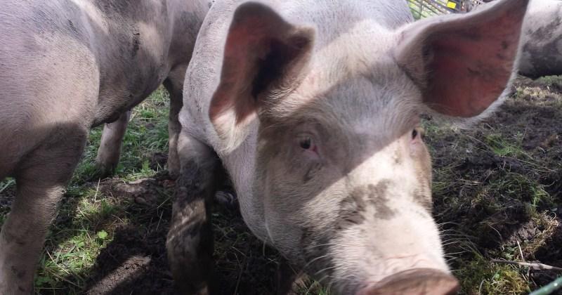 Husdyrhold bidrar til at nye sykdommer og korona-mutasjoner