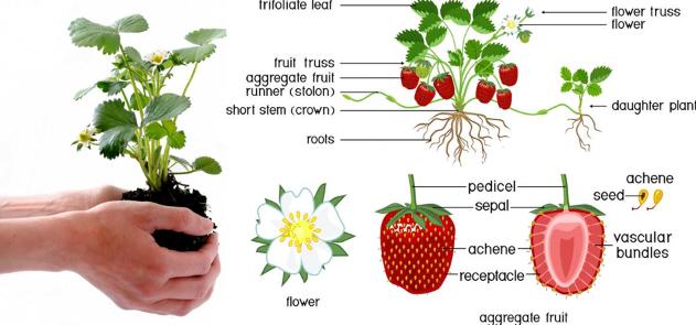 نبات الفراولة