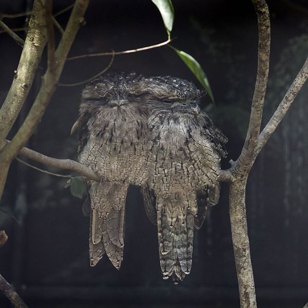 My new favourite birds. Frogmouth owls.