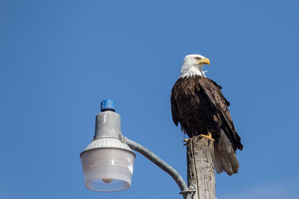 Bald Eagle—Homer Spit