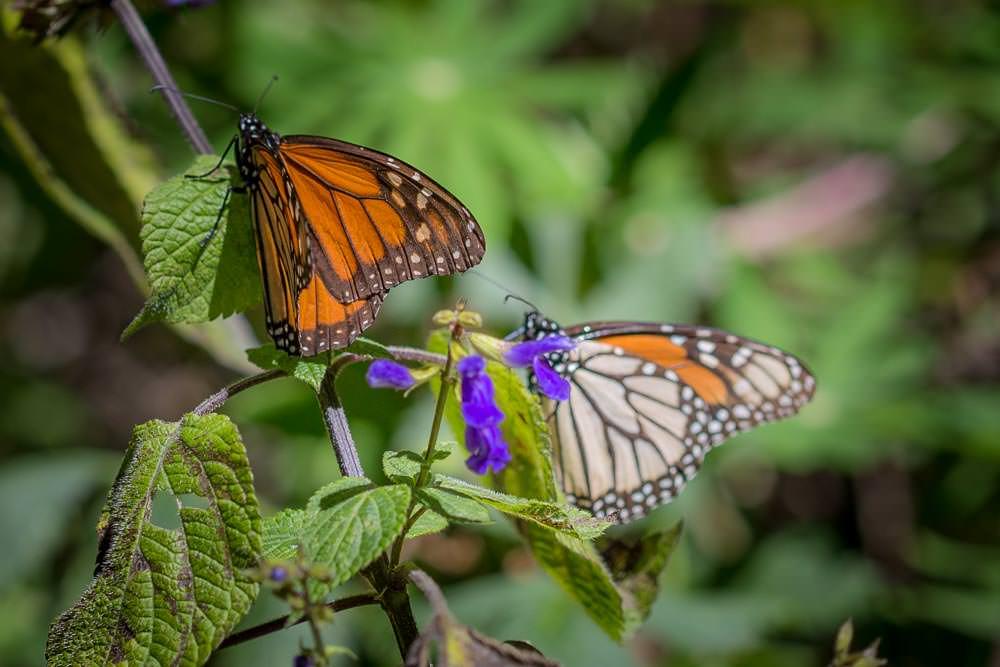 Cerro Pelón Monarch butterfly colony.