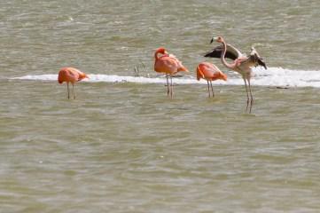 Several more flamingos.