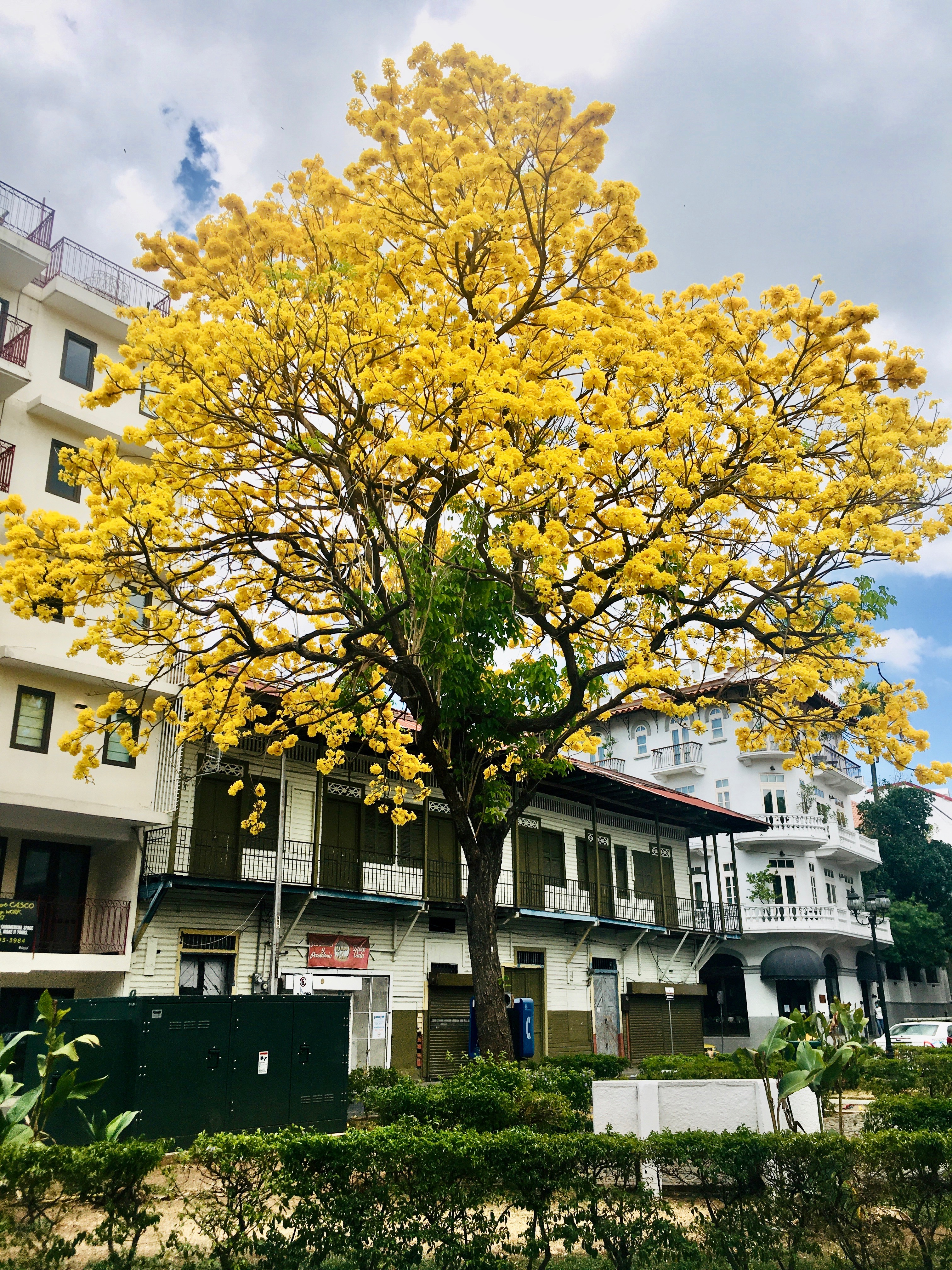 Flowering guayacan in Casco Viejo in front of Hotel Las Clementinas
