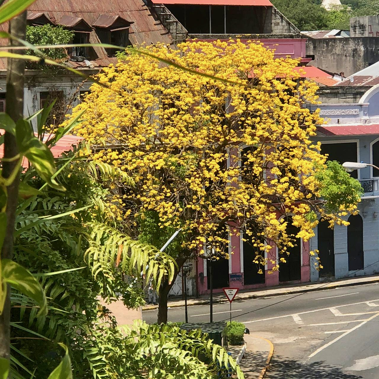 Guayacanes in Panama usually bloom in March