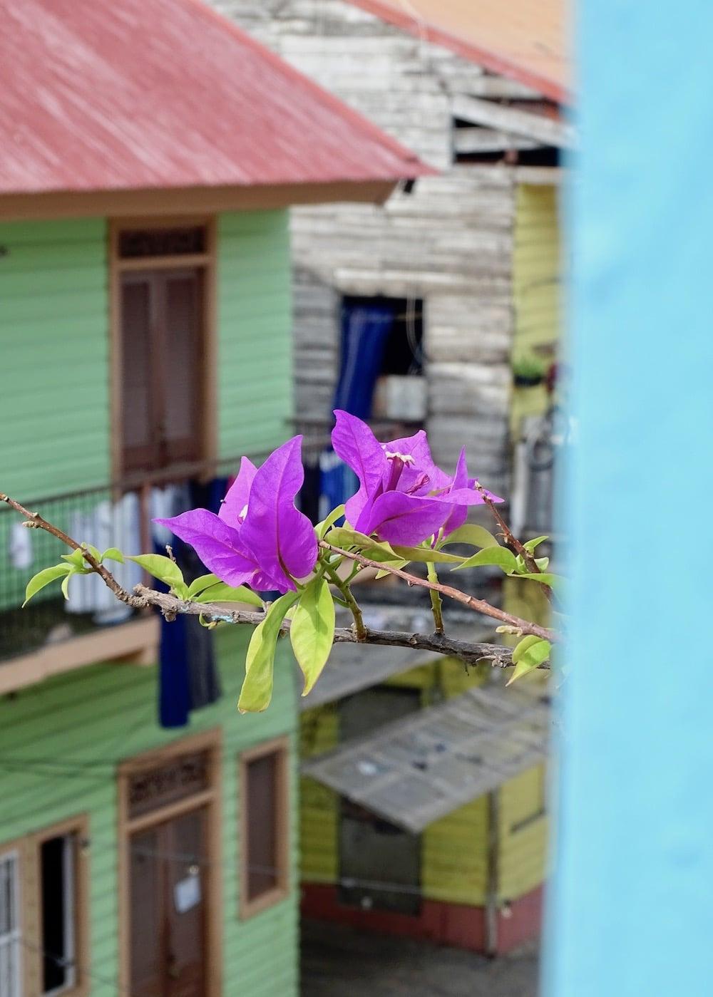 buganvillas o veraneras del departamento de Flor de Lirio en la calle 12 Casco Viejo