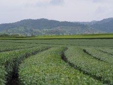 32.tea-plantationsjpg
