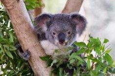 38.koala