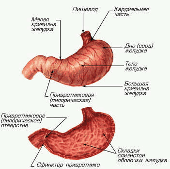 Struktura trbuha: trbušni organi i metode za proučavanje