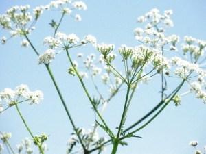 cow parsley in bloom against blue sky